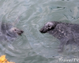 117-seals-howth