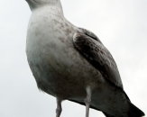 119-gull-howth-ireland