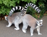 020-lemur-catta-belfast-zoo-ring-tailed-lemur
