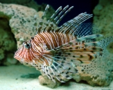 015-Clearfin-lionfish-Pterois-radiata