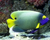 016-Blue-face-angelfish-Pomacanthus-xanthometopon