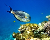 021-Sohal-surgeonfish-Acanthurus-sohal-Diving-in-Egypt
