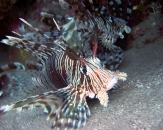 029-Diving-in-Egypt-Pterois-russelli-Spotless-firefish