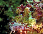 039-Indian-frogfish-Antennarius-indicus