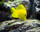 041-Yellow-tang-Zebrasoma-flavescens