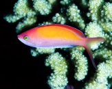 044-Threadfin-anthias-Nemanthias-carberryi