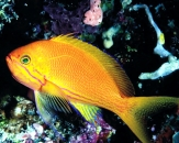 050-Lyretail-anthias-Pseudanthias-squanipinnis-Red-sea