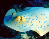 052-Raja-Bluespotted-ribbontail-ray-Egypt