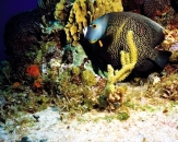 056-French-angelfish-Pomacanthus-paru
