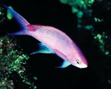 057-Purple-queen-Pseudanthias-pascalus