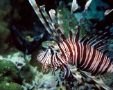058-Plaintail-Spotless-firefish-Pterois-russelli