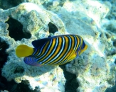 062-Regal-angelfish-Pygoplites-diacanthus