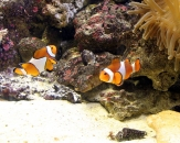 065-Clown-anemonefish-Amphirion-percula-False-clown-anemonefish-Amphirion-ocellaris-Nemos-friends