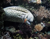 067-Blackspotted-moray-Gymnothorax-melanospilus-Murena