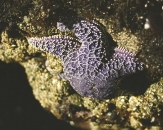 077-Purple-Seastar